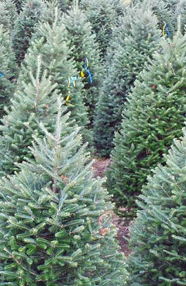 The Fraser-Balsam Cross Fir